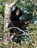 Schwarze Bärenjunge Lizenzfreie Stockfotografie