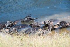 Schwarze Büffel, die in einem Fluss an der Landschaft von Thailand schwimmen Stockfotografie