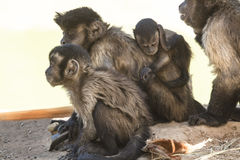 Schwarze büschelige capuccin Affefamilie Stockfotos
