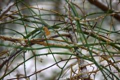 Schwarze Beere in einem subtropischen Laubwald im Winter Stockfotografie