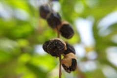 Schwarze Beeren Stockbild