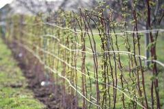 Schwarze Beerenanlage, die im Garten wächst Lizenzfreie Stockfotografie