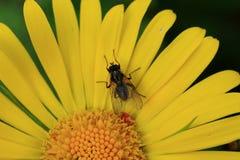 Schwarze Blattlaus auf einem Gänseblümchen Stockbild
