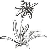 Schwarze Blume des Schattenbildentwurfs-Edelweißes (Leontopodium), das Symbol von Alpinismus Stockbilder