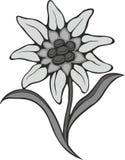 Schwarze Blume des Schattenbildentwurfs-Edelweißes (Leontopodium), das Symbol von Alpinismus Lizenzfreie Stockbilder
