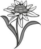 Schwarze Blume des Schattenbildentwurfs-Edelweißes (Leontopodium), das Symbol von Alpinismus Stockfoto
