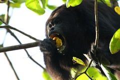 Schwarze Brüllaffe, die eine Acajoubaum-Frucht isst Lizenzfreies Stockbild