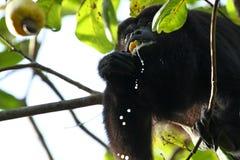 Schwarze Brüllaffe, die eine Acajoubaum-Frucht isst Stockfotografie