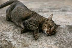 Schwarze braune lokale Katze legt sich auf dem Boden zu Hause hin Stockfoto