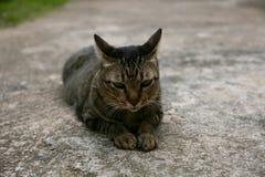 Schwarze braune lokale Katze legt sich auf dem Boden zu Hause hin Lizenzfreie Stockfotografie