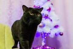 Schwarze britische Katze, die für die Kamera aufwirft Stockfoto