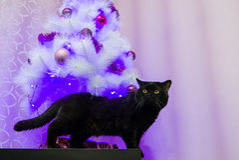 Schwarze britische Katze, die für die Kamera aufwirft Stockfotos