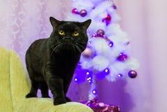 Schwarze britische Katze, die für die Kamera aufwirft Stockbild