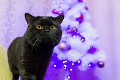 Schwarze britische Katze, die für die Kamera aufwirft Stockbilder