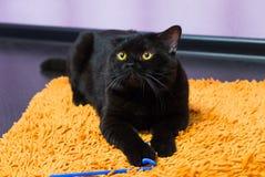 Schwarze britische Katze mit Orange mustert Hunnen für ein Spielzeug Stockfoto
