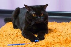 Schwarze britische Katze mit Orange mustert Hunnen für ein Spielzeug Stockbild