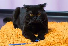 Schwarze britische Katze mit Orange mustert Hunnen für ein Spielzeug Lizenzfreie Stockfotos
