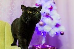 Schwarze britische Katze nahe einem Baum der weißen Weihnacht Stockfotos