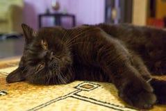 Schwarze britische Katze schläft auf Boden Stockfoto