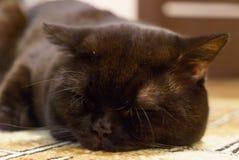 Schwarze britische Katze schläft auf Boden Lizenzfreie Stockfotos