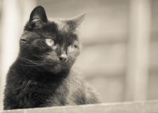 Schwarze Cat Gazing im Sepia Lizenzfreies Stockfoto