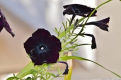 Schwarze Cat Petunias Stockbild