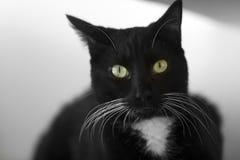 Schwarze Cat Whiskers Closeup stockbilder