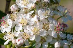 Schwarze Chokeberryblumennahaufnahme Aronia-melanocarpa Stockbild