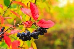 Schwarze Ebereschenbeeren mit Rot verlässt im Herbst Lizenzfreies Stockfoto
