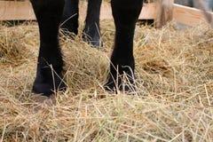 Schwarze Füße der Pferdestellung auf dem Stroh in der Koppel auf dem Bauernhof lizenzfreies stockbild