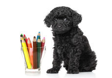 Schwarze farbige Bleistifte des Pudelwelpen nahe Lizenzfreie Stockfotografie