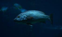 Schwarze Fische Stockfotografie