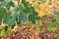 Schwarze Flecke auf Ahornblättern Stockfotos