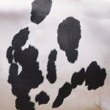 Schwarze Flecke auf weißem Fell der inländischen Kuh in Holland Stockbild