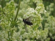 Schwarze Fliege auf einem Hintergrund der weißen Blumen lizenzfreie stockfotos