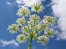 Schwarze Fliegen auf einer weißen Blume Stockfotografie