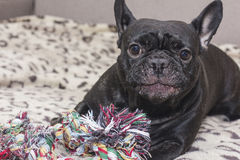 Schwarze französische Bulldogge, die Hundespielzeug kaut Lügen auf dem Sofa Lizenzfreie Stockbilder
