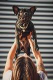 Schwarze französische Bulldogge, die von seinem weiblichen Inhaber gehalten wird lizenzfreie stockbilder