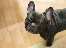Schwarze französische Bulldogge zuhause Stockfoto
