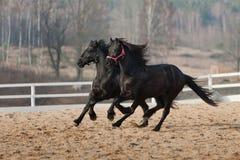 Schwarze friesische Pferde Stockfotografie