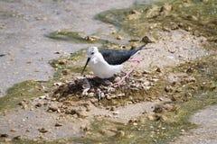 Schwarze geflügelte Stelze auf Nest Lizenzfreies Stockfoto