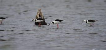 Schwarze geflügelte Stelze, die im Wasser steht stock video