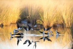 Schwarze geflügelte Stelzen, Karumba, Queensland lizenzfreie stockbilder