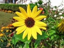 Schwarze gemusterte Susan-Blume in einem Garten lizenzfreies stockfoto