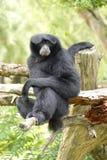 Schwarze Gibbone Lizenzfreies Stockfoto