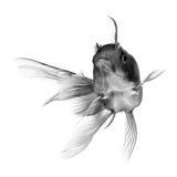 Schwarze Goldfische auf weißem Hintergrund Stockfoto