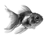 Schwarze Goldfische auf weißem Hintergrund Stockbild