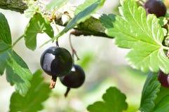 Schwarze goosberries auf dem Busch essfertig Stockfoto