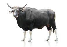 Schwarze große Kuh auf weißem Hintergrund lizenzfreies stockbild