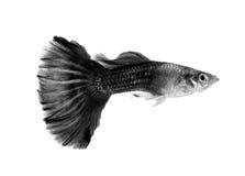 Schwarze Guppyfische auf weißem Hintergrund Stockfoto